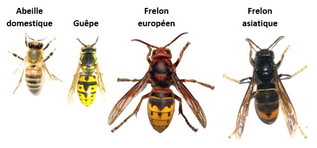 FRelons-abeille-guêpe-légende